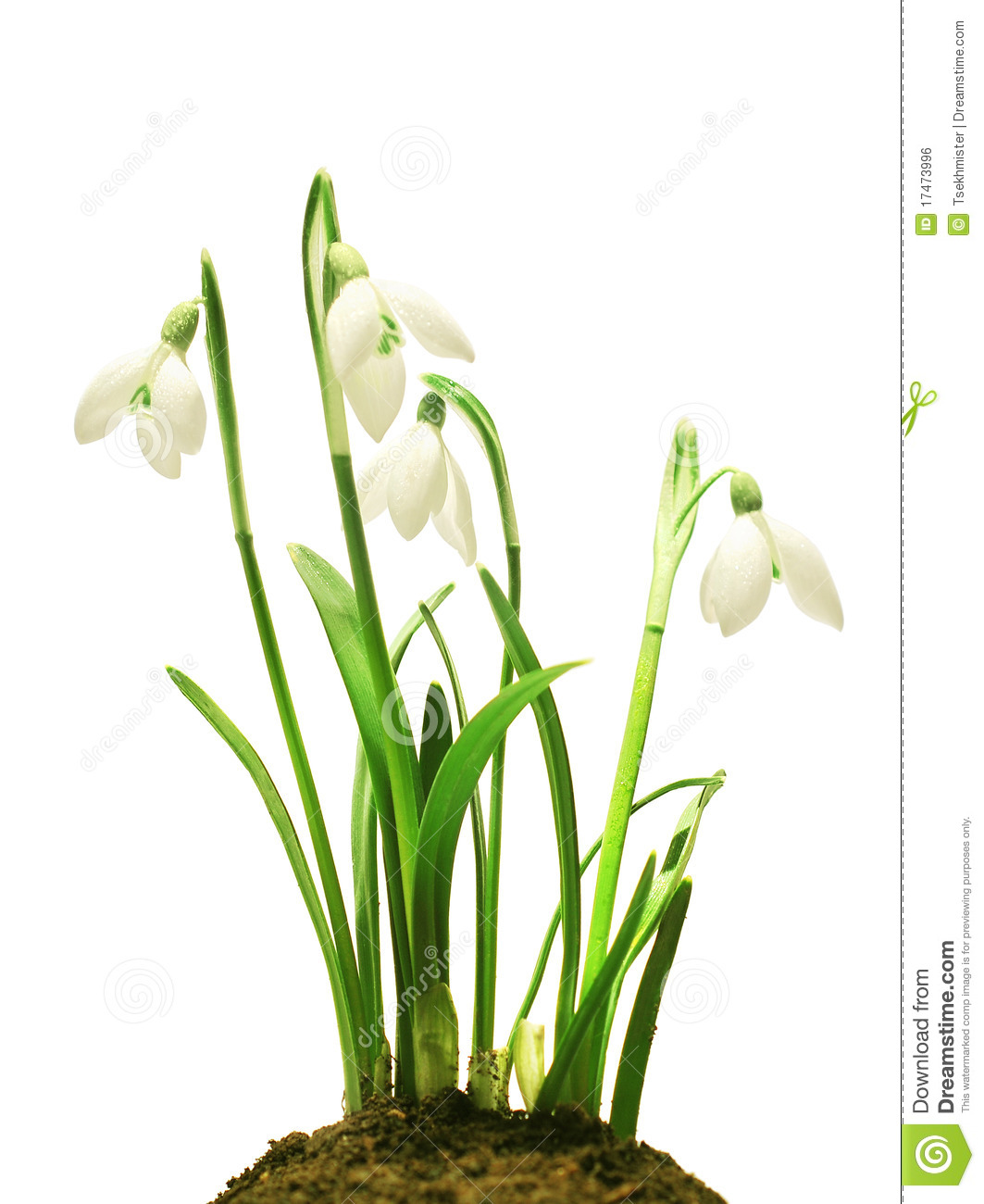 Spring snowdrop flowers bouquet isolated on white.