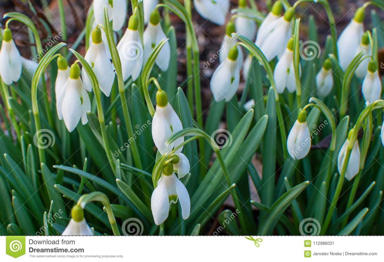 Snowdrops in the garden.