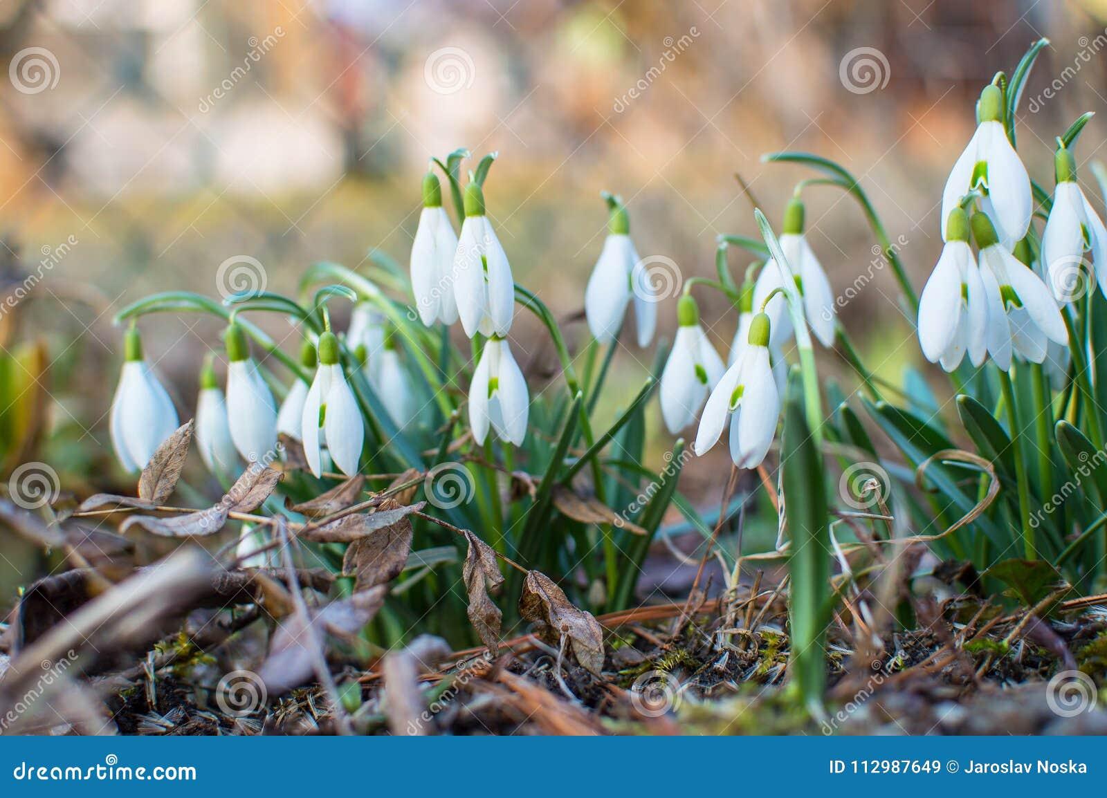Snowdrops in the garden.