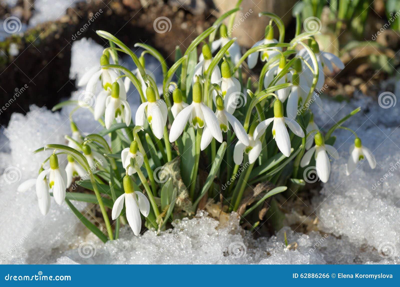 Snowdrops Voronova (lat Woronowii de Galanthus)