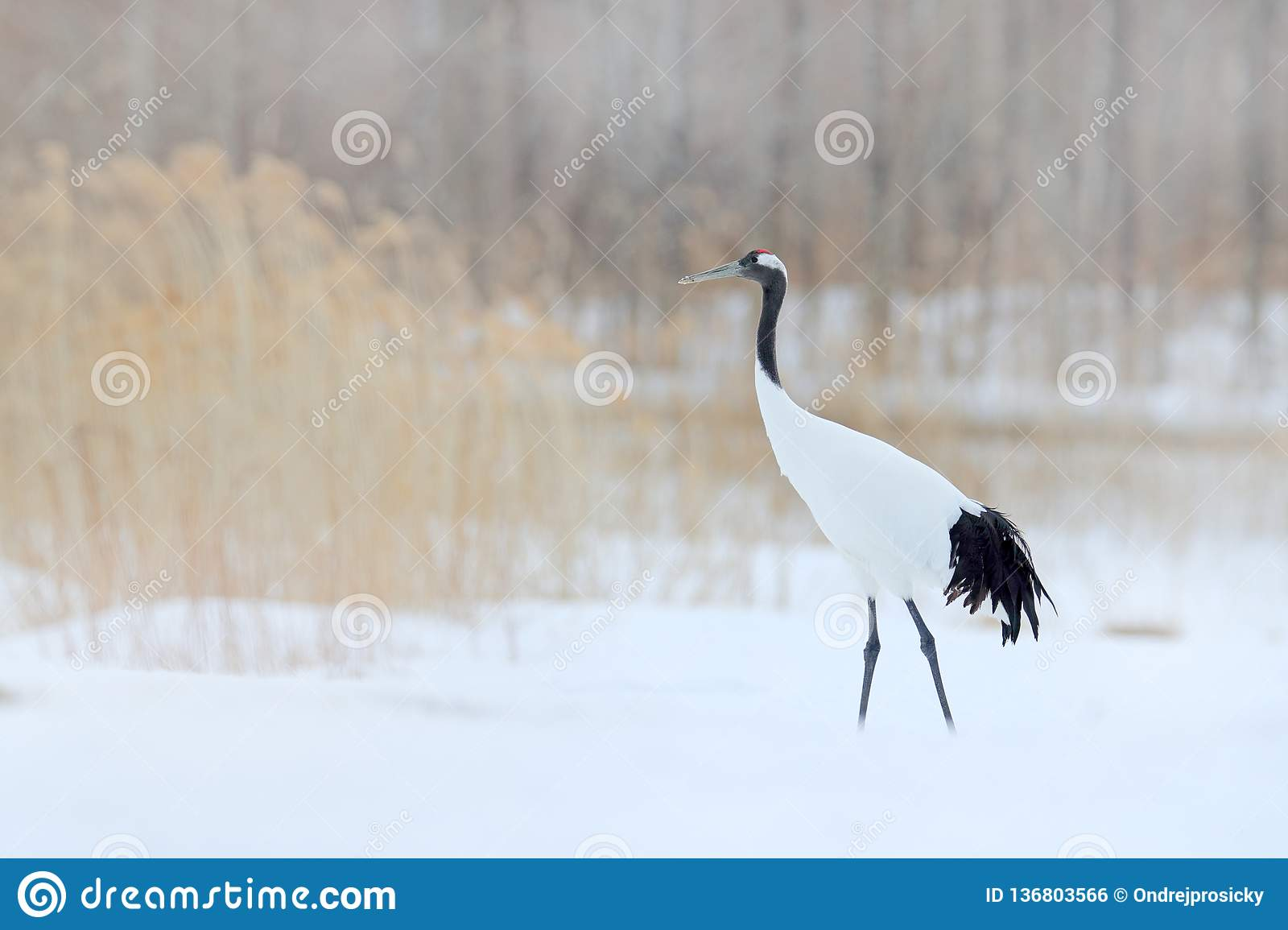 Snowfall Red-crowned crane in snow meadow, with snow storm, Hokkaido, Japan. Bird in fly, winter scene with snowflakes. Snow dance