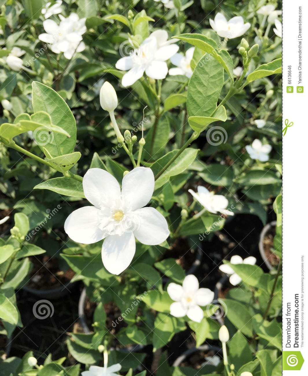 Snowflake white flowers stock photo image of southeast 66136646 snowflake or inda flowers origins in srilanka tropical plant usually grow in southeast asia mightylinksfo