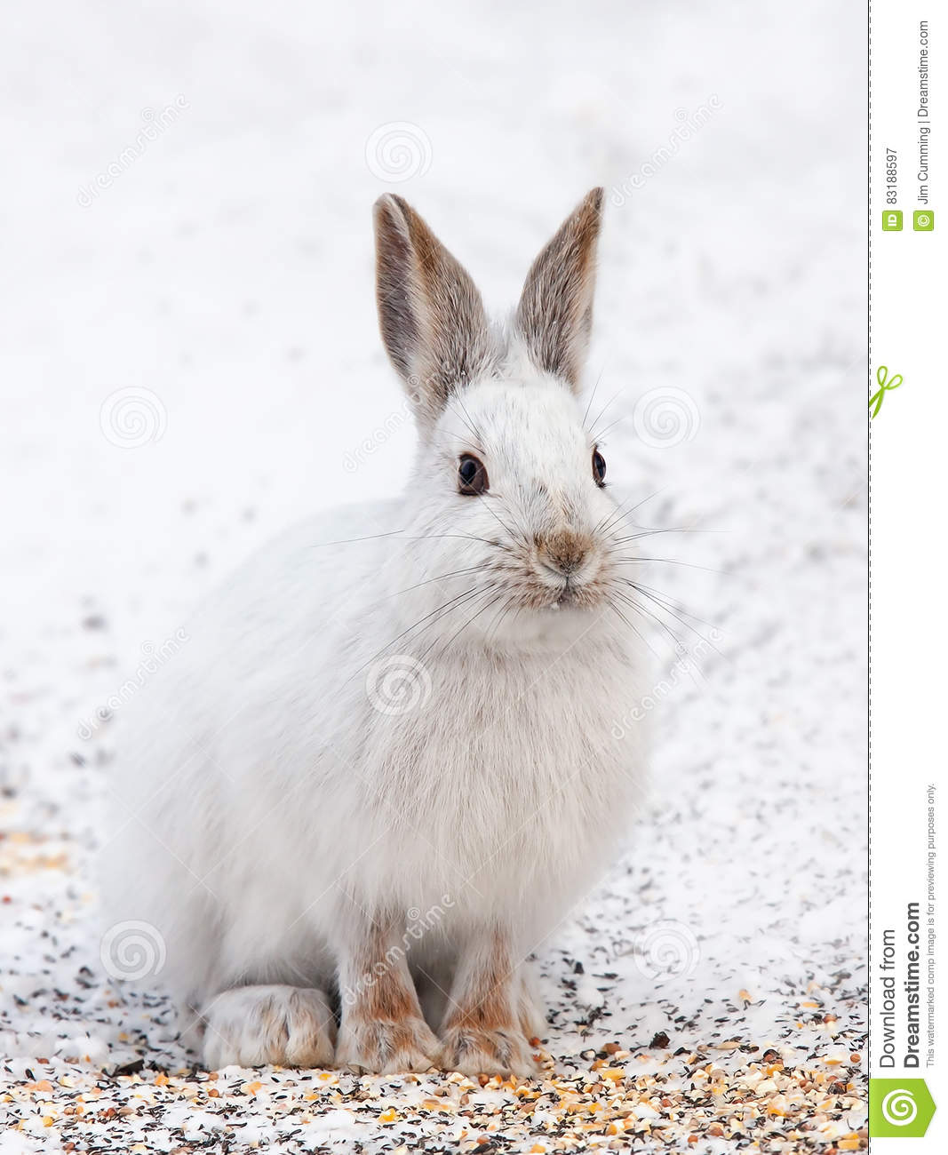 Snowshoe hare or Varying hare (Lepus americanus) closeup in winter in Canada