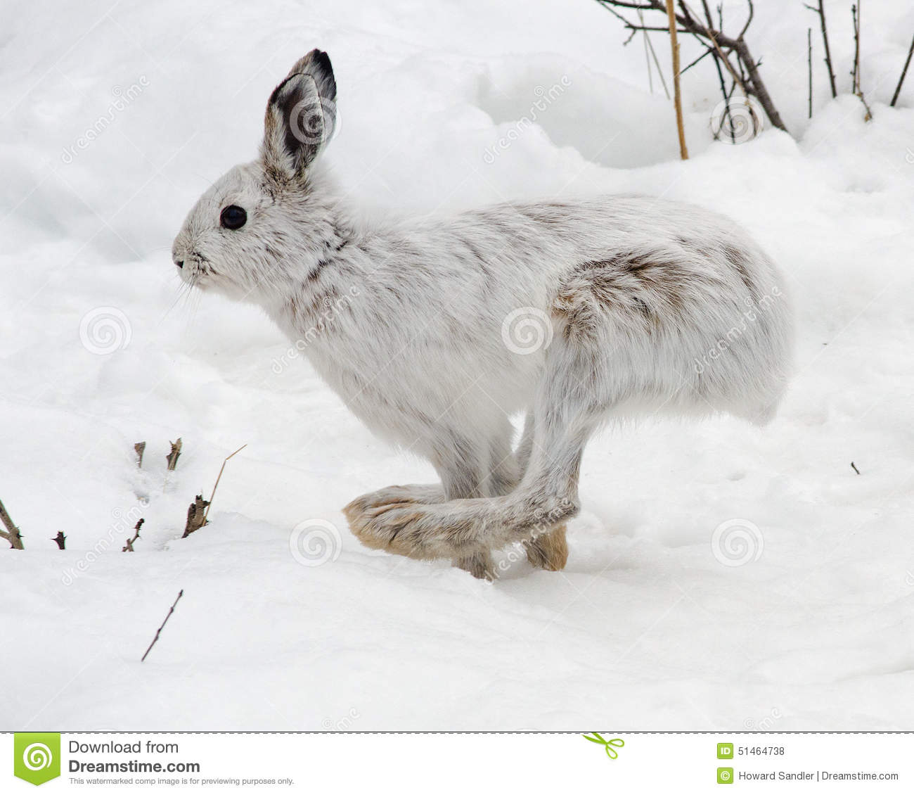 snowshoe hare running stock photo image of hare easter. Black Bedroom Furniture Sets. Home Design Ideas