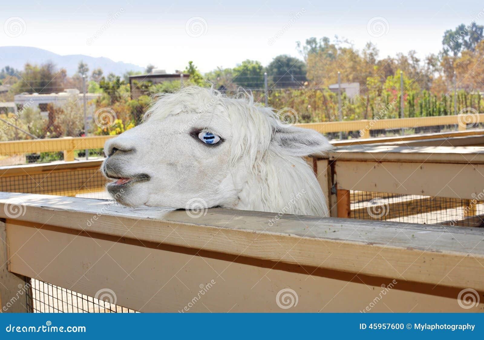 Snowwhite llama
