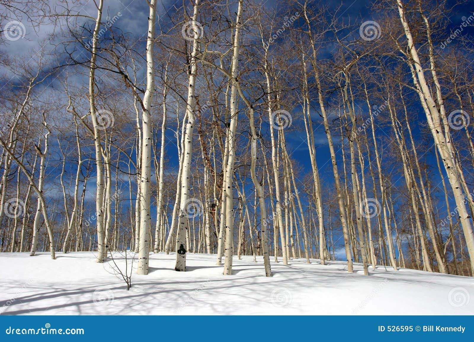 Birch trees in the winter stock photo image 2170700 - Snowy Aspen Trees Royalty Free Stock Photo