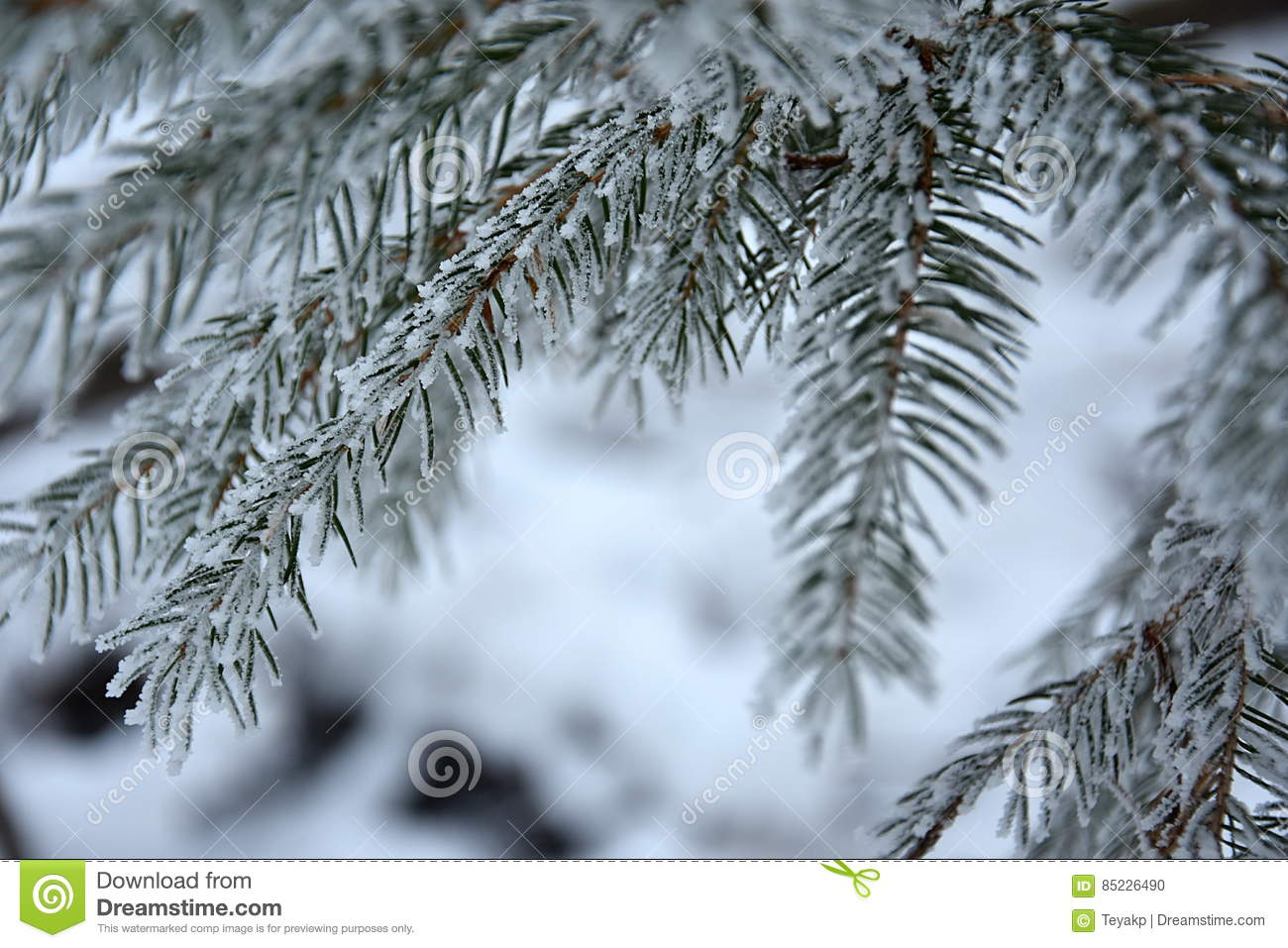 Snowy branches spruce, close up