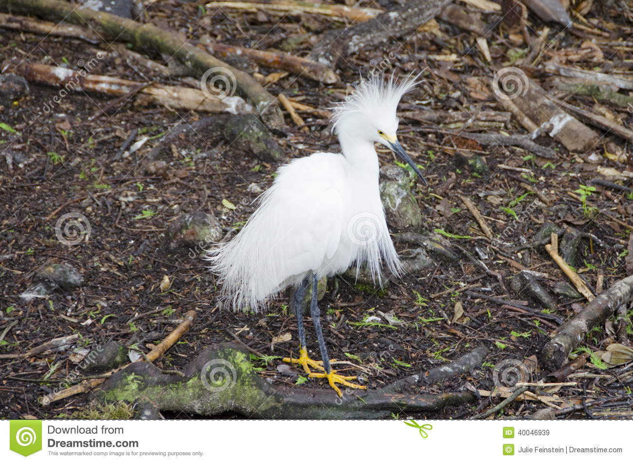 Snowy Egret Stock Photo - Image: 40046939