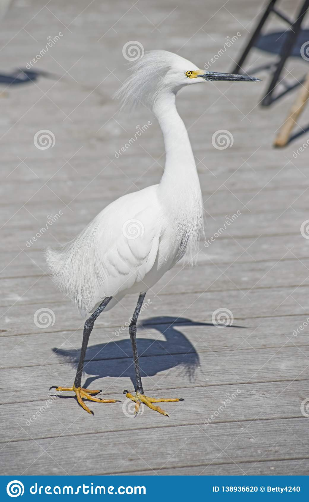 A Snowy Egret walks the piers looking for fish scraps.