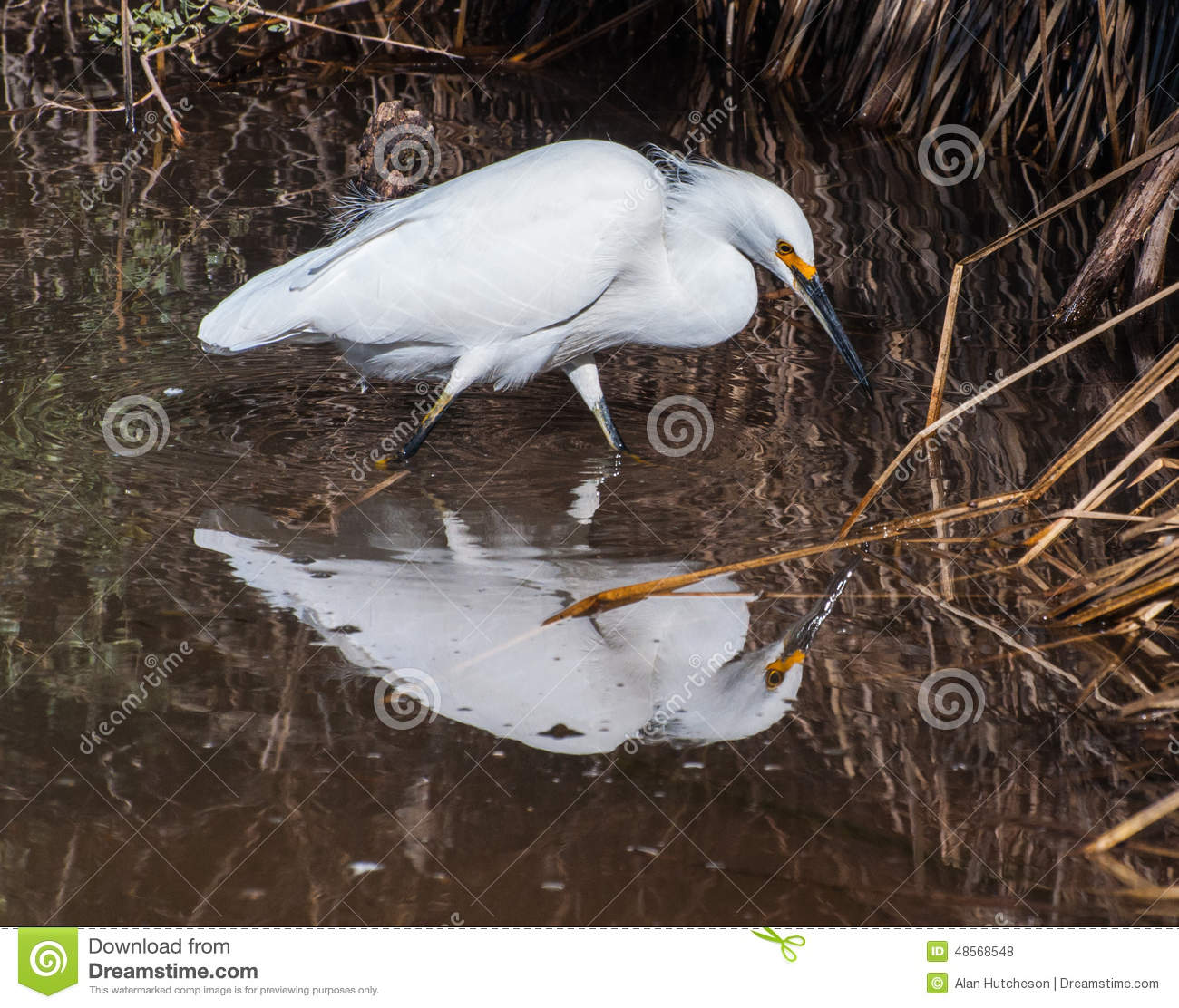 Great Egret On Prowl >> Snowy Egret Stock Photo Image Of Prowling Snowy Prized 48568548