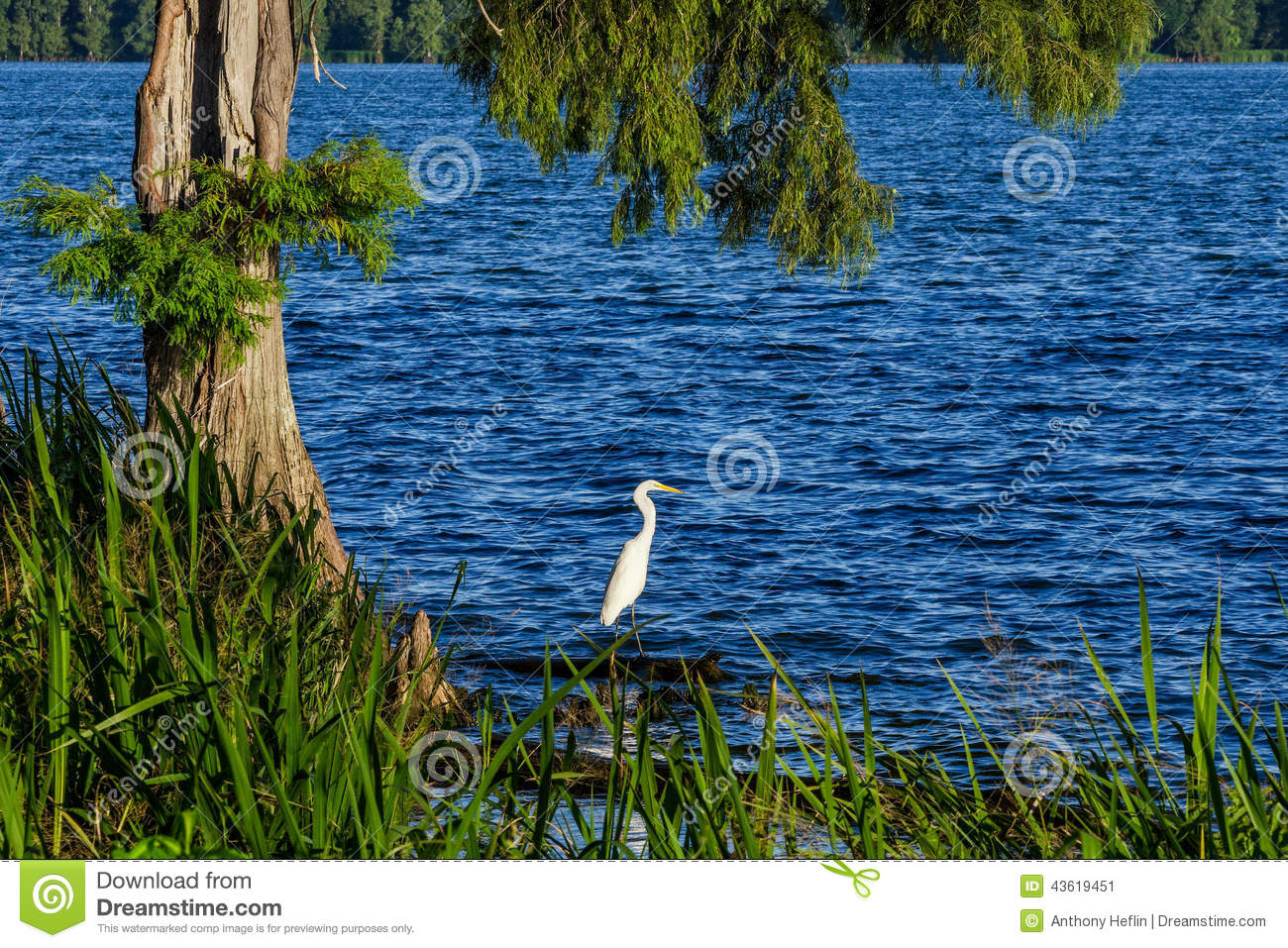 Snowy Egret, Reelfoot Lake, Tennessee Stock Image - Image of shores