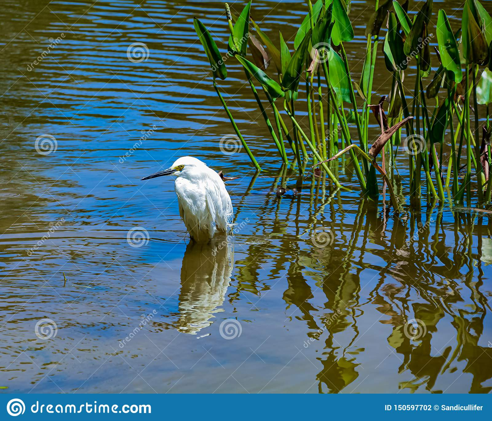 Snowy Egret Standing in a Florida Wetland