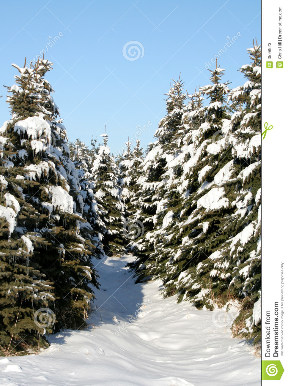 Evergreen trees covered in snow | Stock Photo | Colourbox