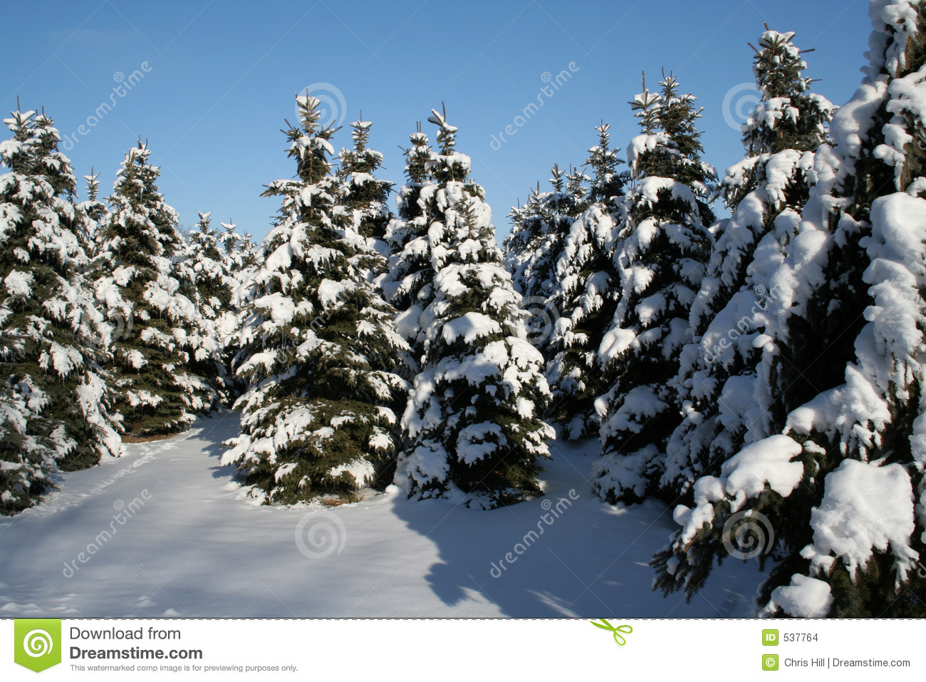 Snowy Evergreens Stock Images - Image: 537764