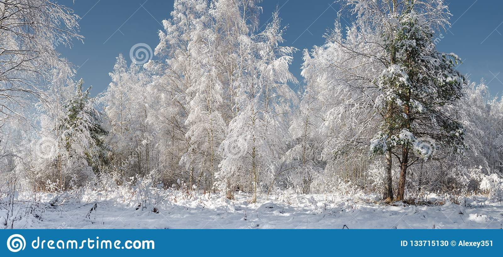 Snowy fir trees in winter forest at snowfall/the snow wood in sunny day