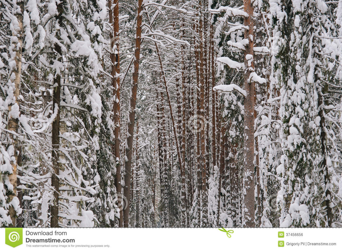 snowy fir trees forest - photo #31