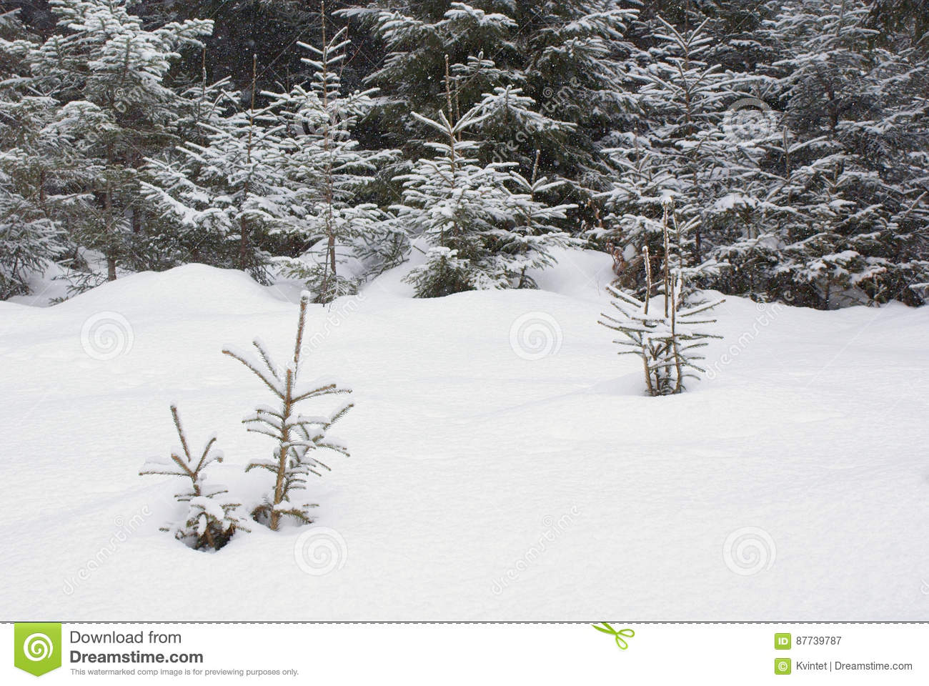 Snowy meadow with sprouts of tree in the winter forest