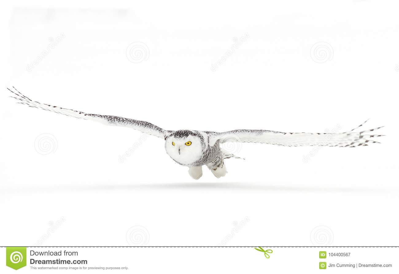 Snowy owl (Bubo scandiacus) isolated against a white background hunting over an open snowy field in Canada
