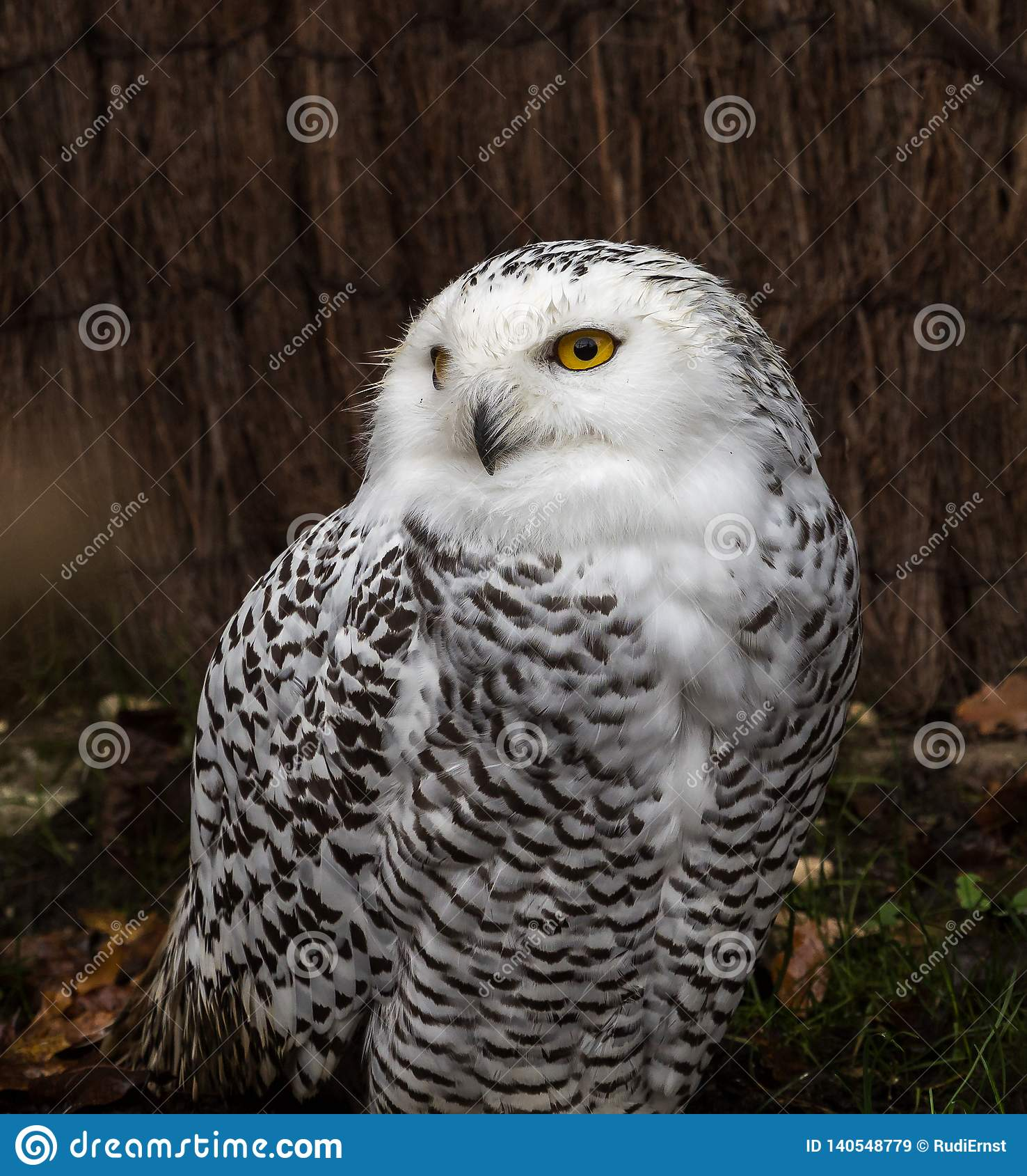 The Snowy Owl, Bubo scandiacus is a large, white owl of the owl family