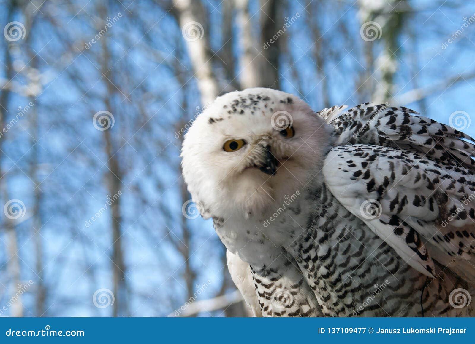 Snowy owl bubo scandiascus
