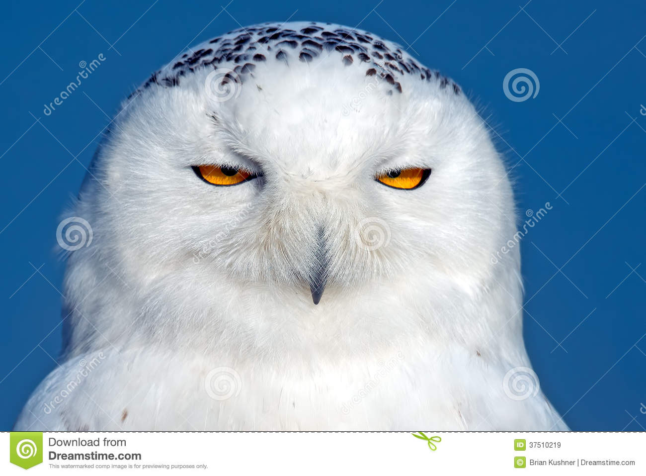 snowy owl close up stock image image of covered closeup 37510219