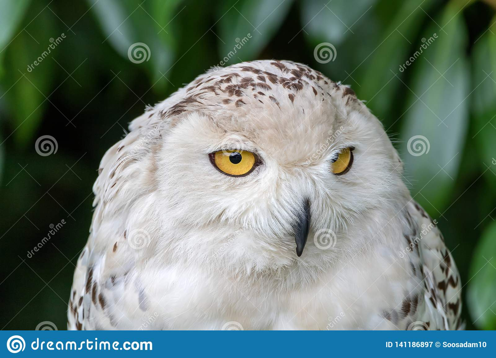 Snowy owl, looking for food