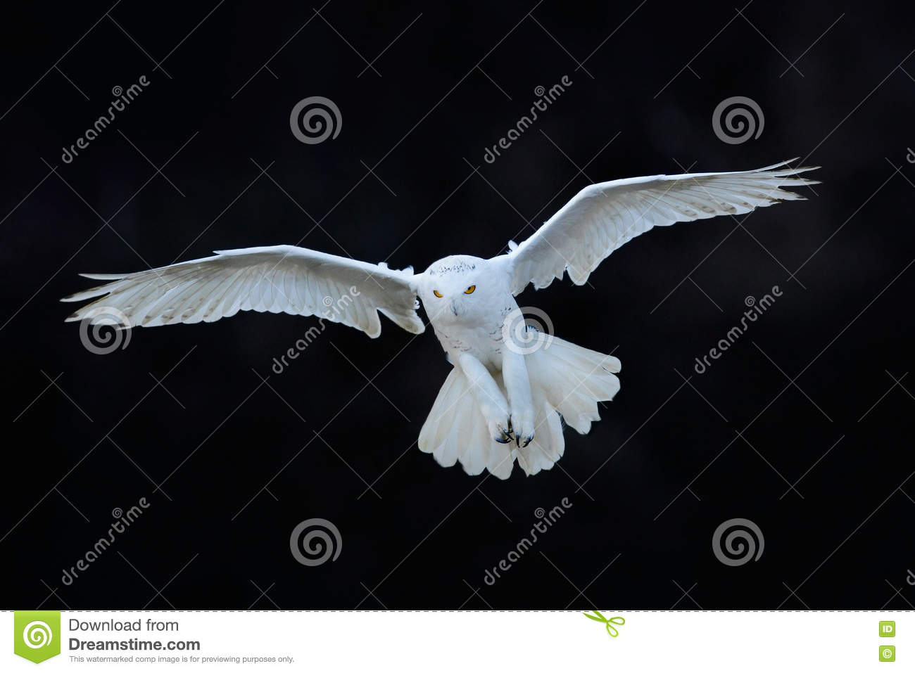 Snowy owl, Nyctea scandiaca, white rare bird flying in the dark forest, winter action scene with open wings, Canada