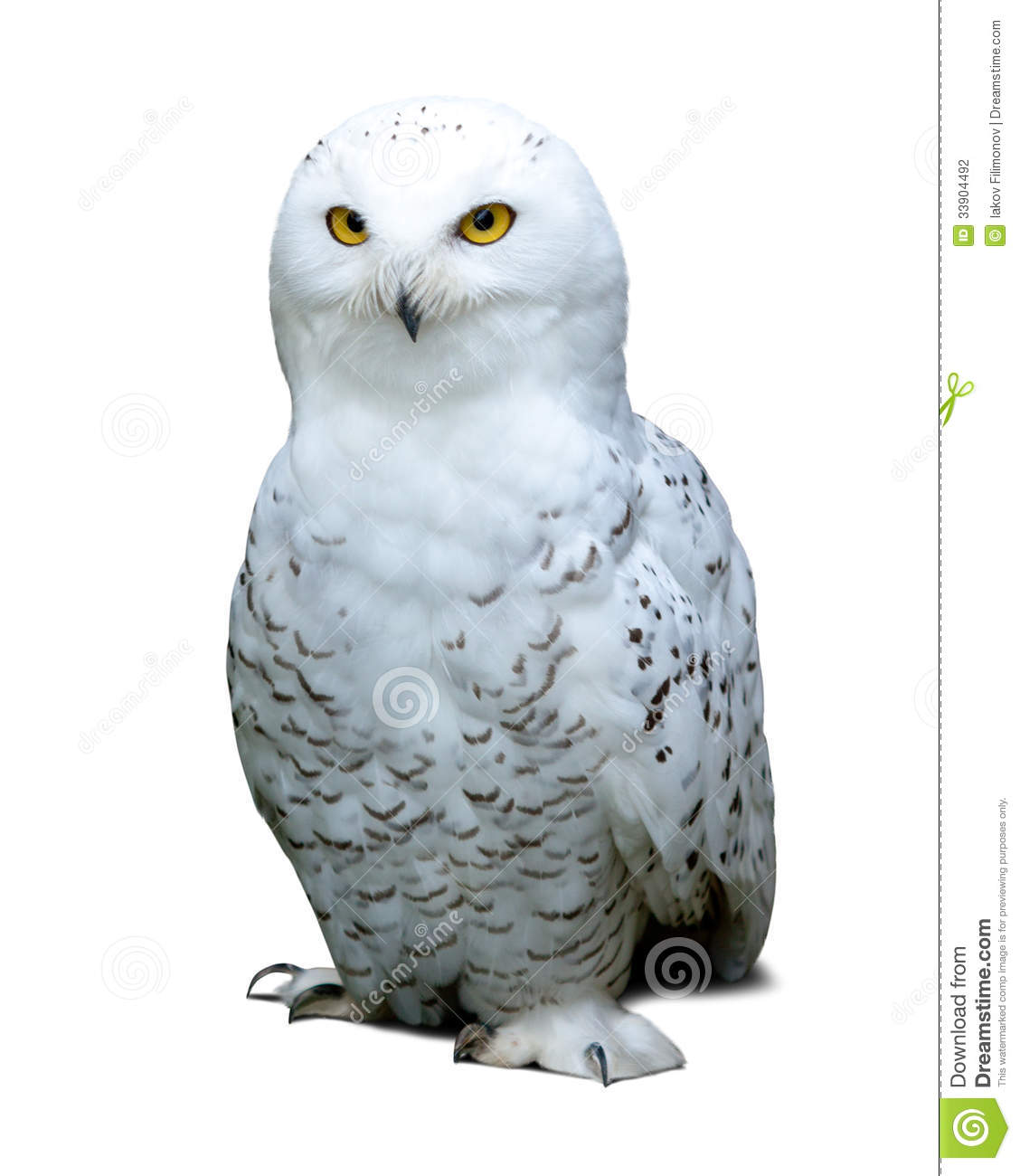 Snowy Owl Over White Stock Photography - Image: 33904492