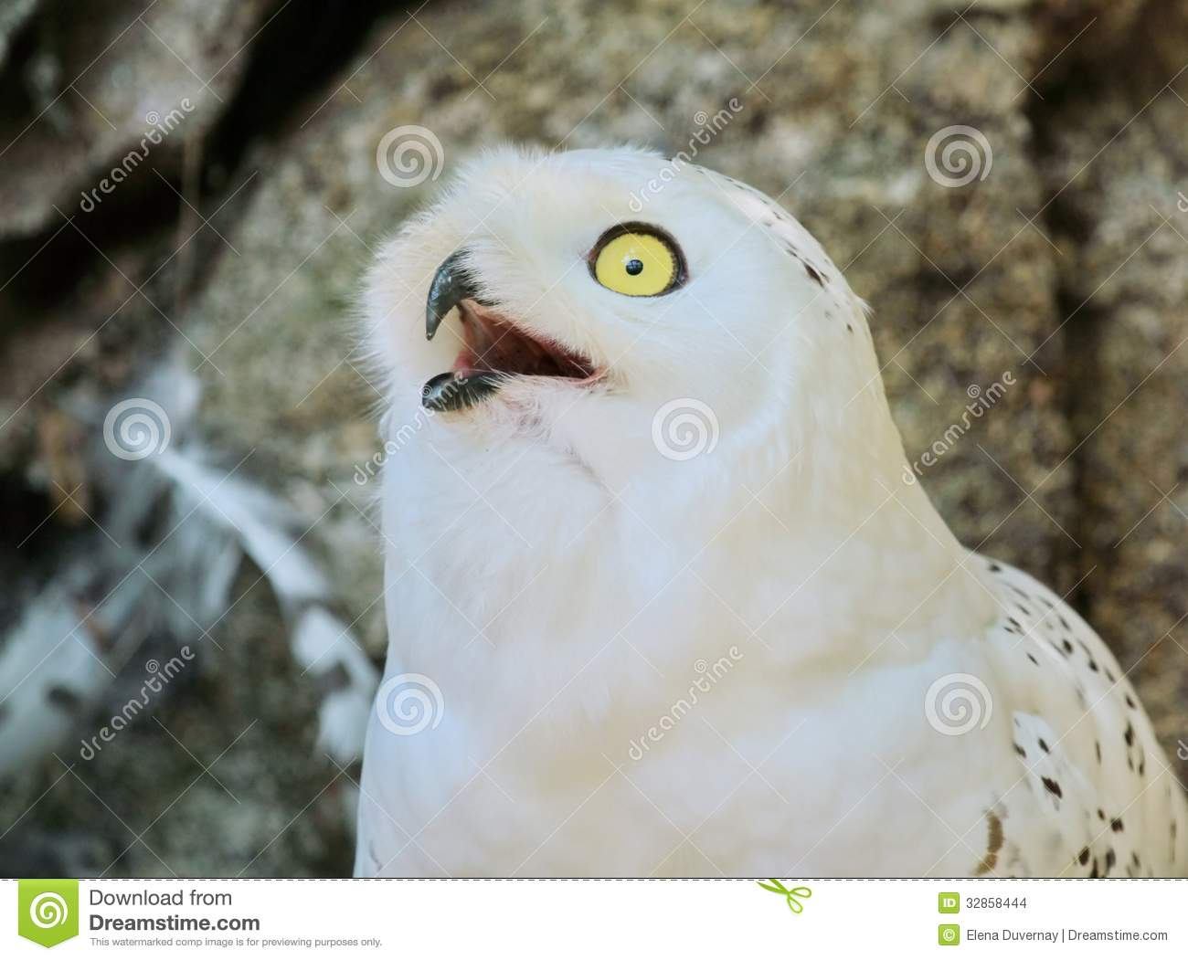 Stellers Sea Eagle gape stock image. Image of mouth, yellow - 62048537