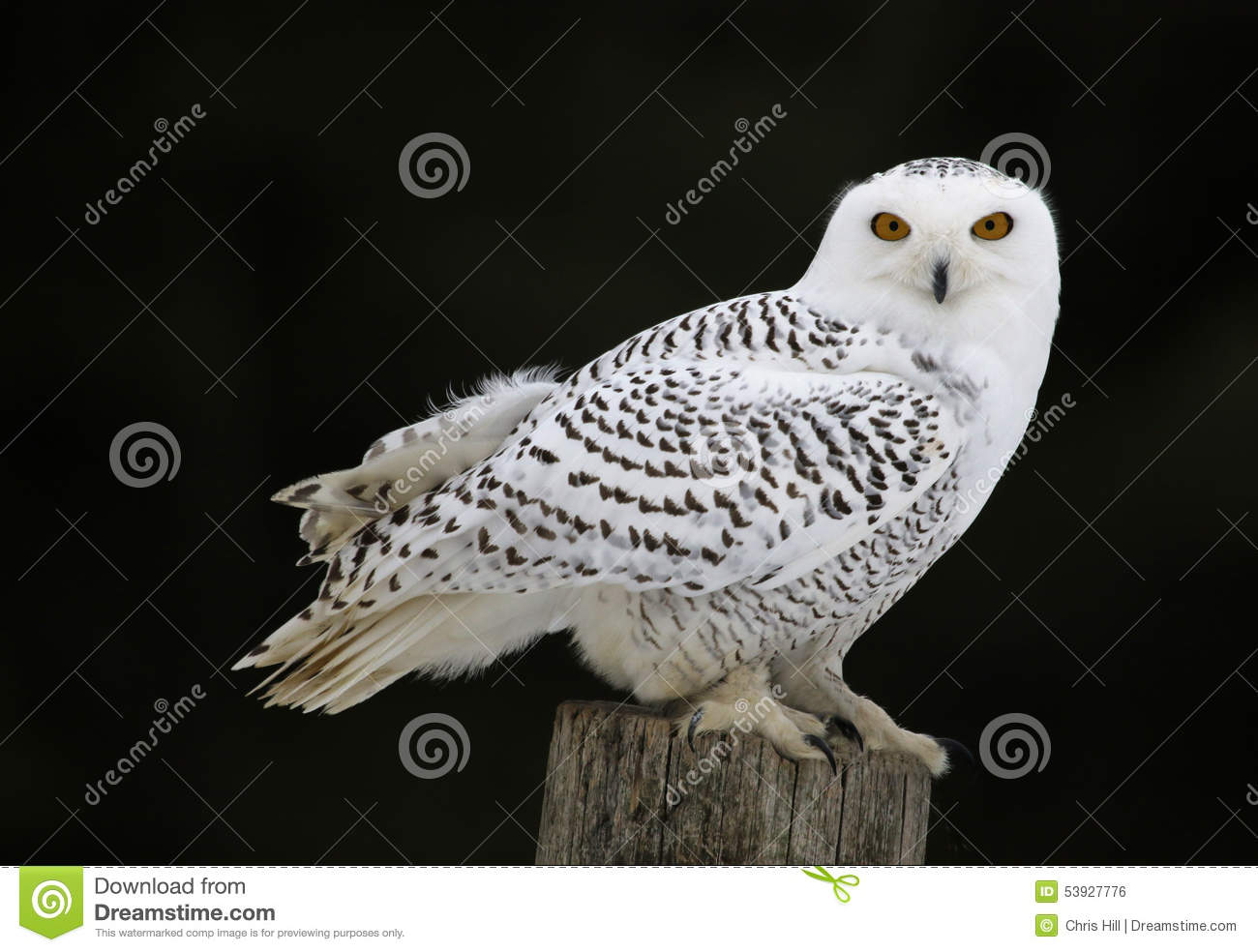 Snowy Owl Sitting Bubo Scandiacus Post together with Snowy Owl furthermore Forest Of Owl X likewise Owls furthermore Burrowing Owl Palomino Valley. on snowy owls
