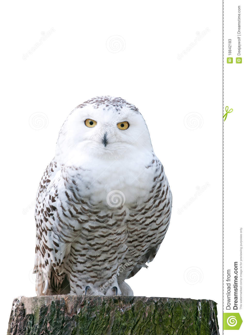snowy owl sitting on a stump on white background stock