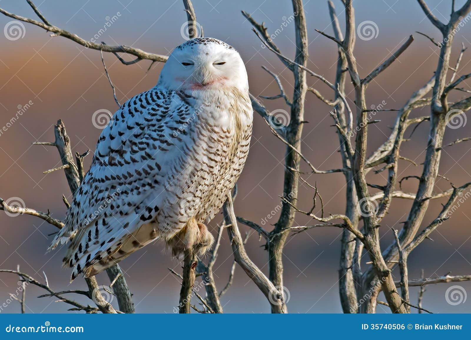 Snowy Owl Royalty Free Stock Image Image 35740506