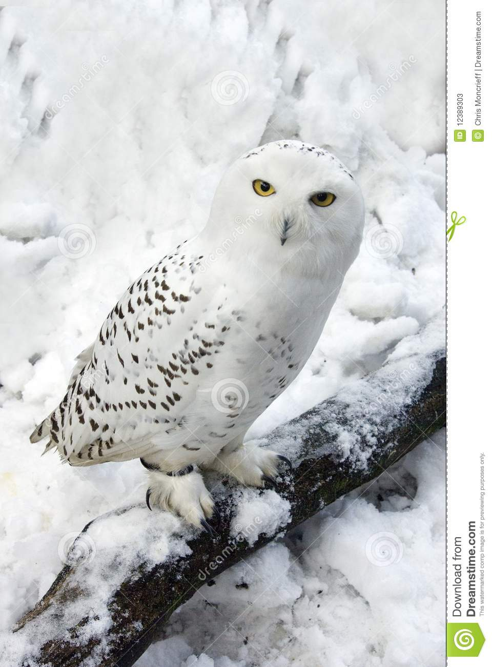 Snowy Owl In Snow Stock Image Image Of Perches Chick