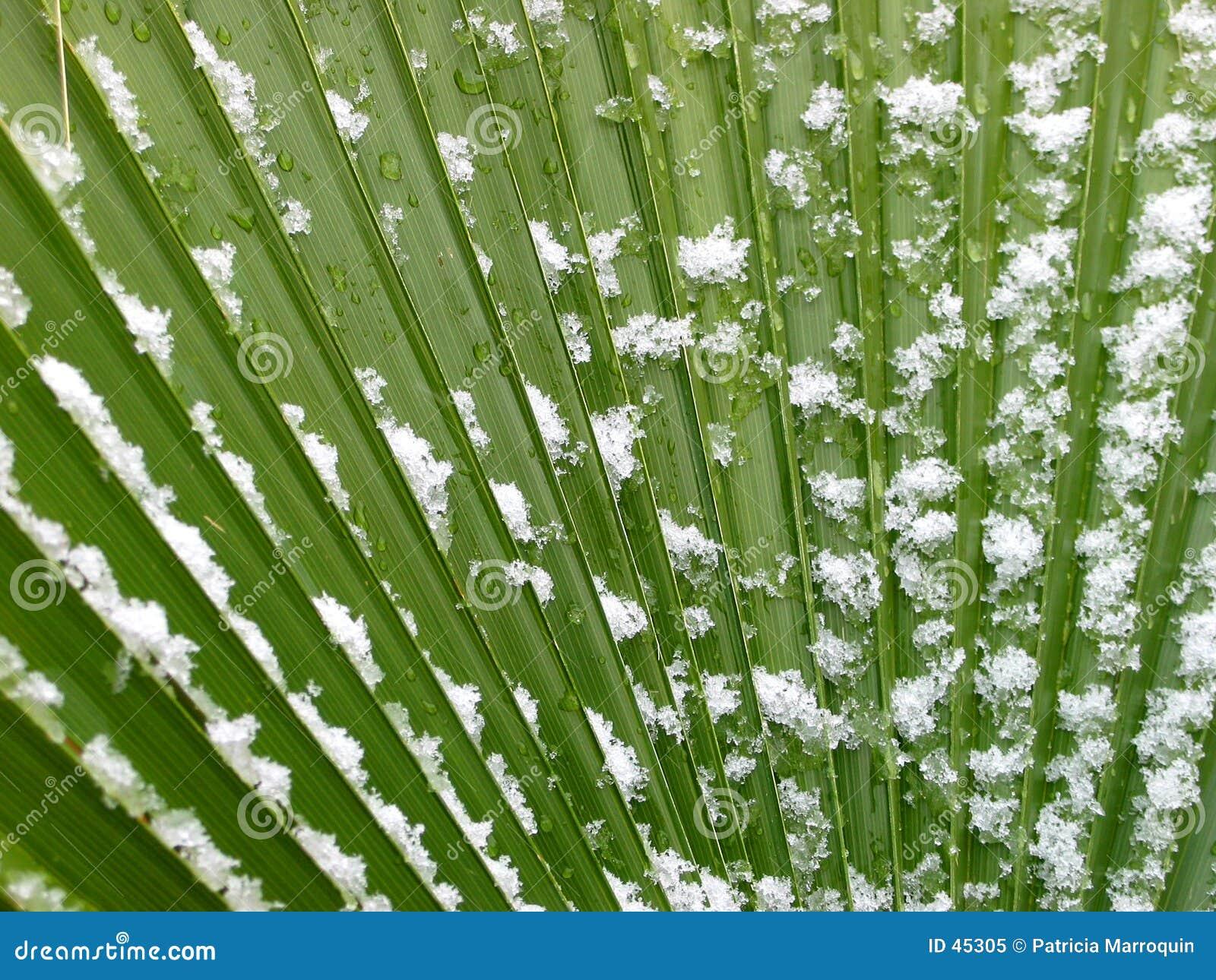 Snowy-Palmen-Wedel