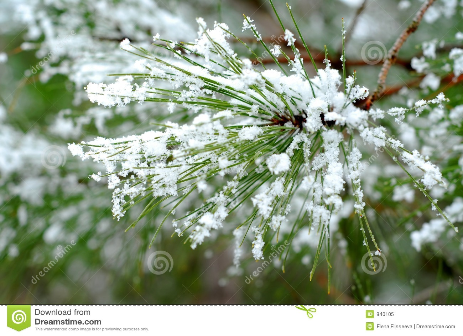 Snowy pine needles