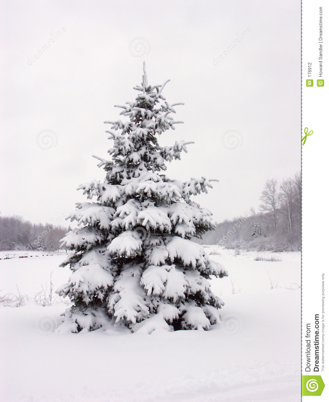 snowy pine tree stock photo image of isolated bough lone 176912