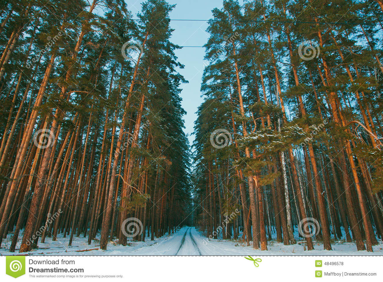 Snowy road in winter pine forest