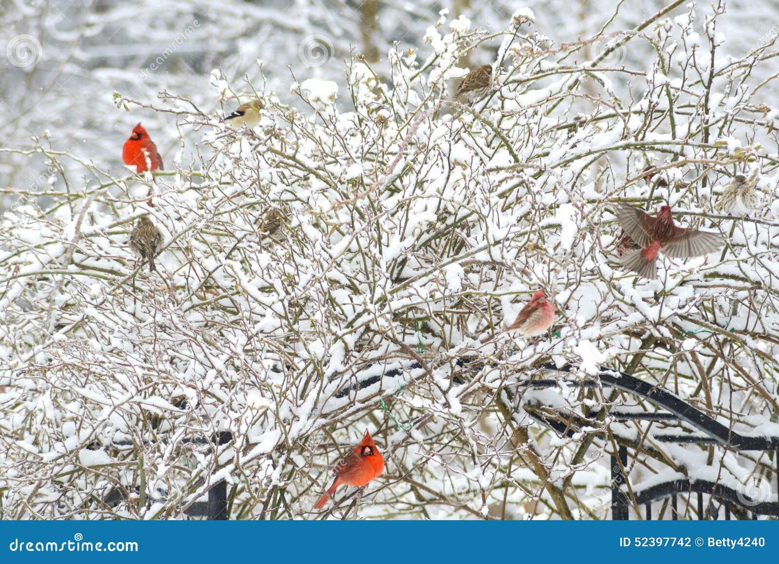 Snowy Rose Bush Full Of Songbirds Stock Photo Image Of