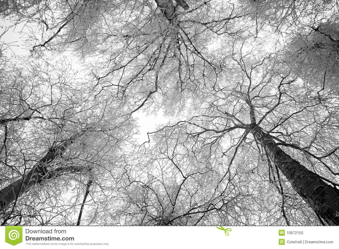 snowy trees in winter black and white stock image
