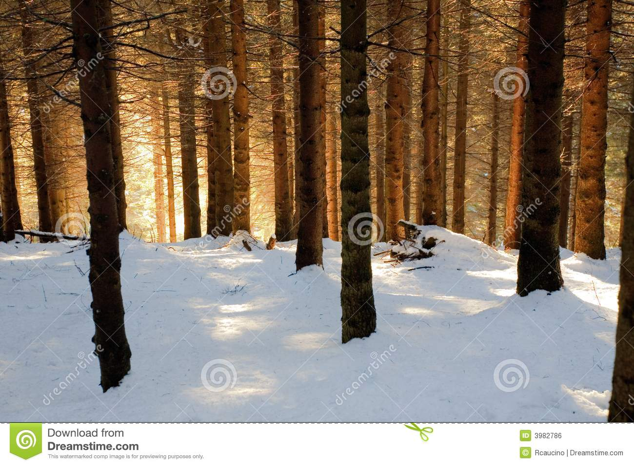Snowy Woods Stock Photo Image Of Snow Forest Scenic 3982786
