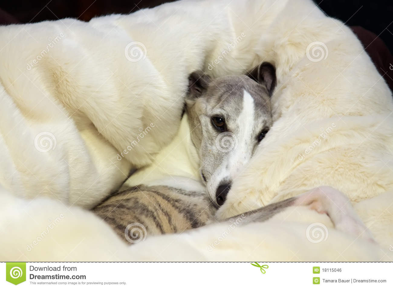 Snuggly whippet