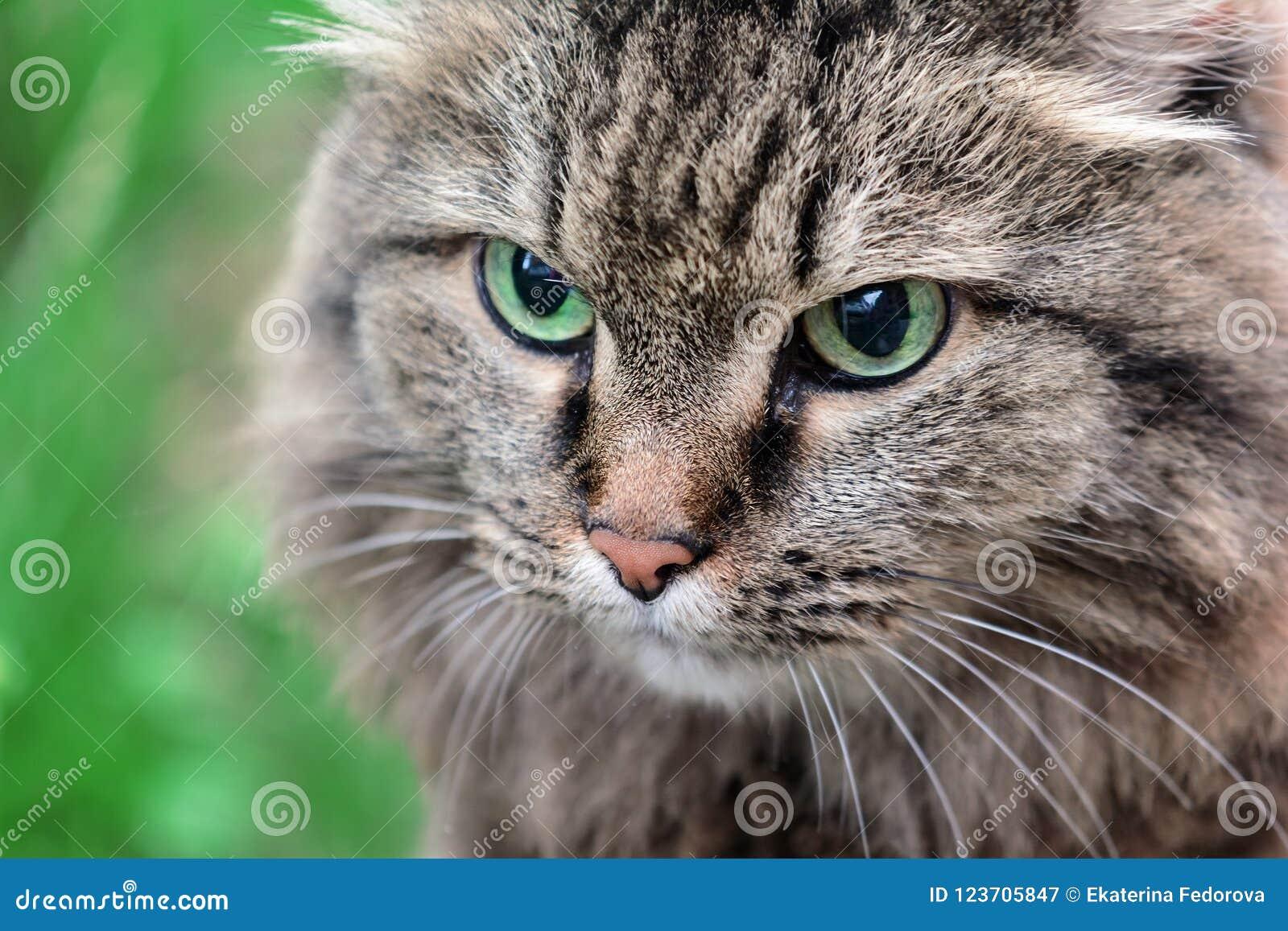 Snuit van een grijs kattenclose-up Een dier met mooie ogen