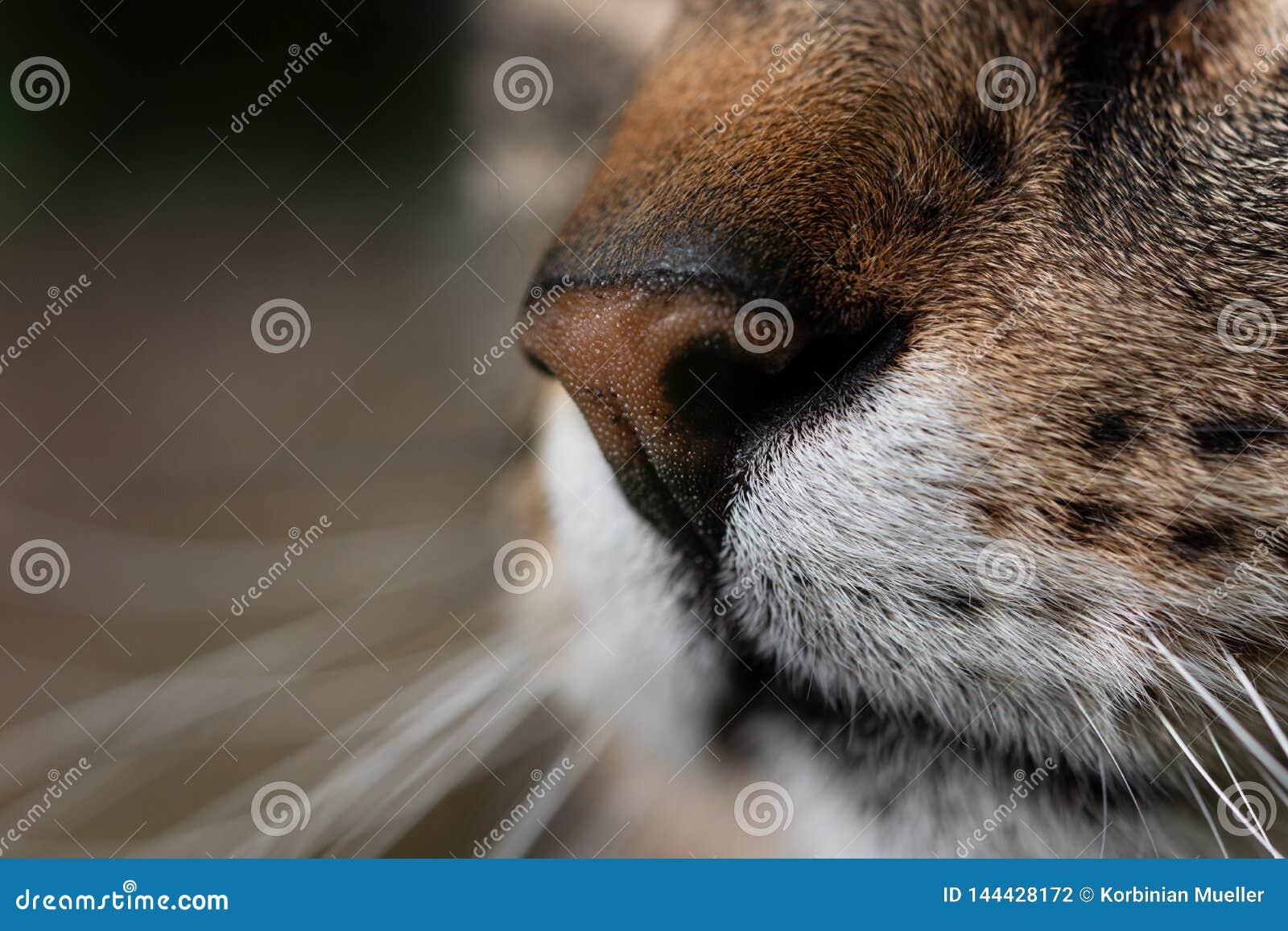 Snuit van een kat in close-up