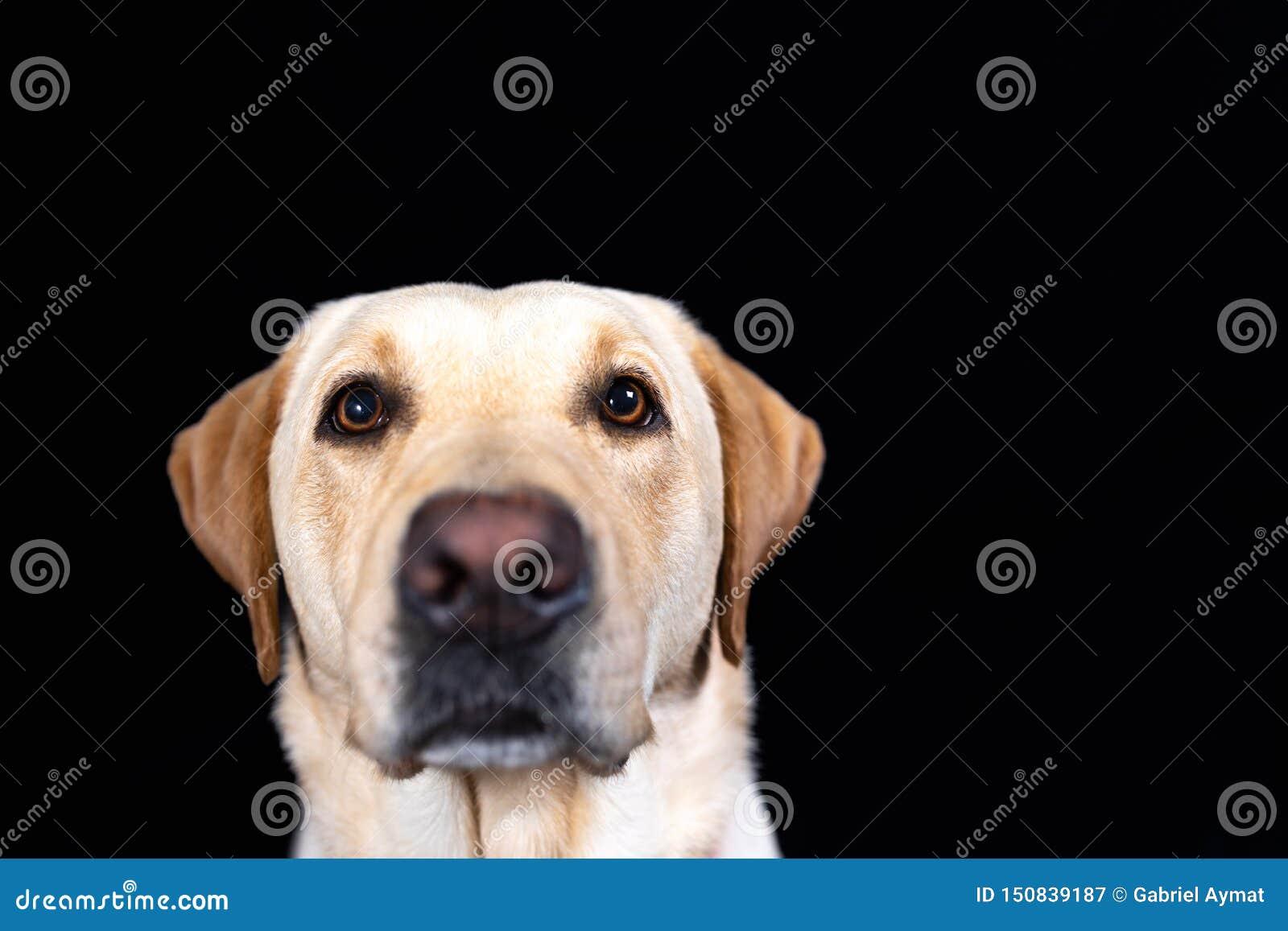 Snuit van labrador retriever op zwarte achtergrond