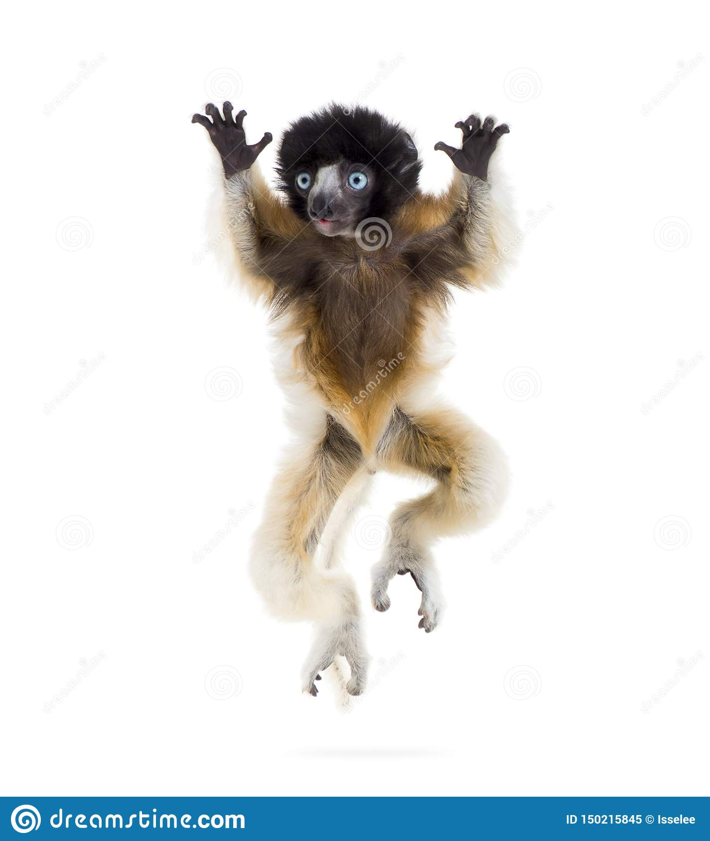 4 months old baby Crowned Sifaka jumping against white