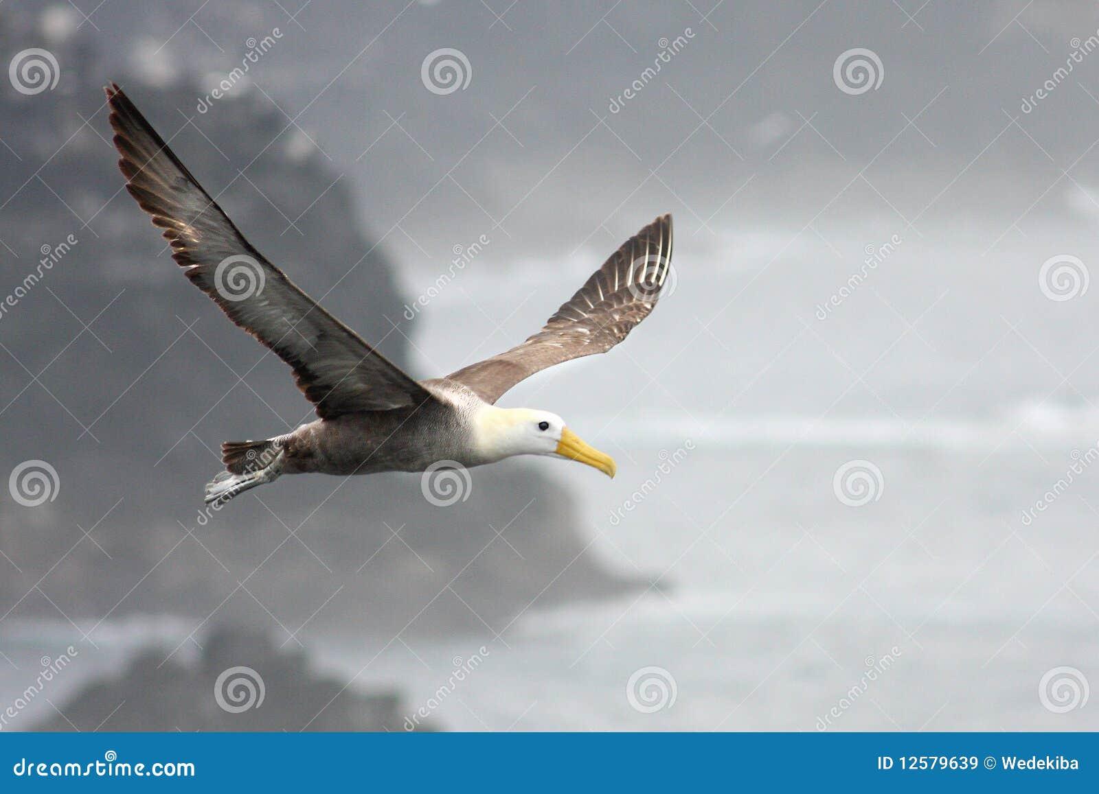Grande Galapagos Albatross Soaring Above The Water