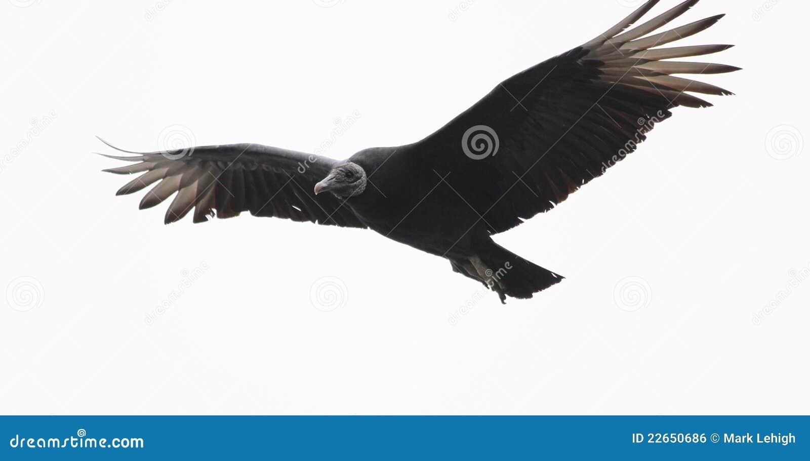 Download Soaring buzzard stock photo. Image of bill, head, evil - 22650686