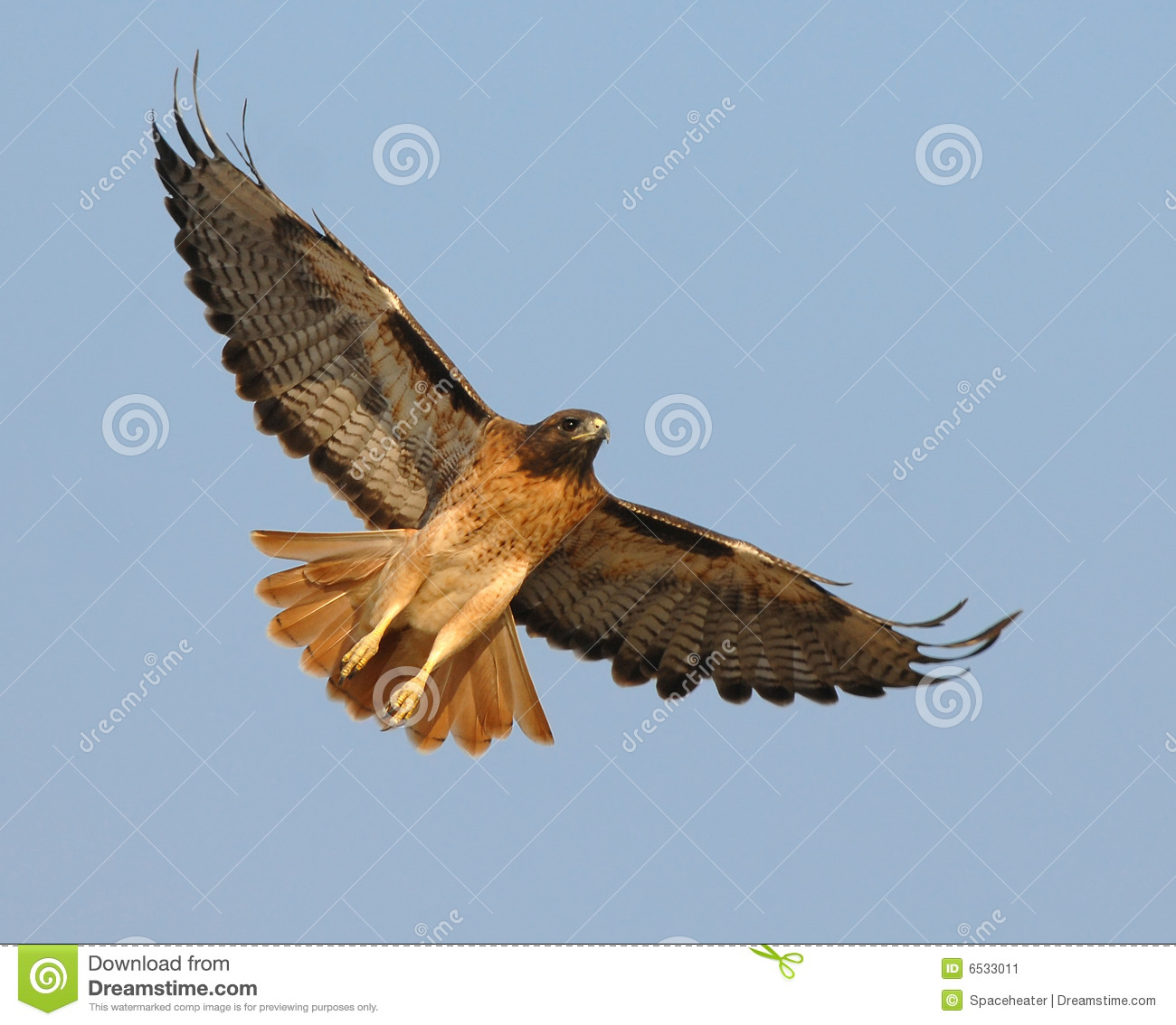 Soaring Red Tail Hawk