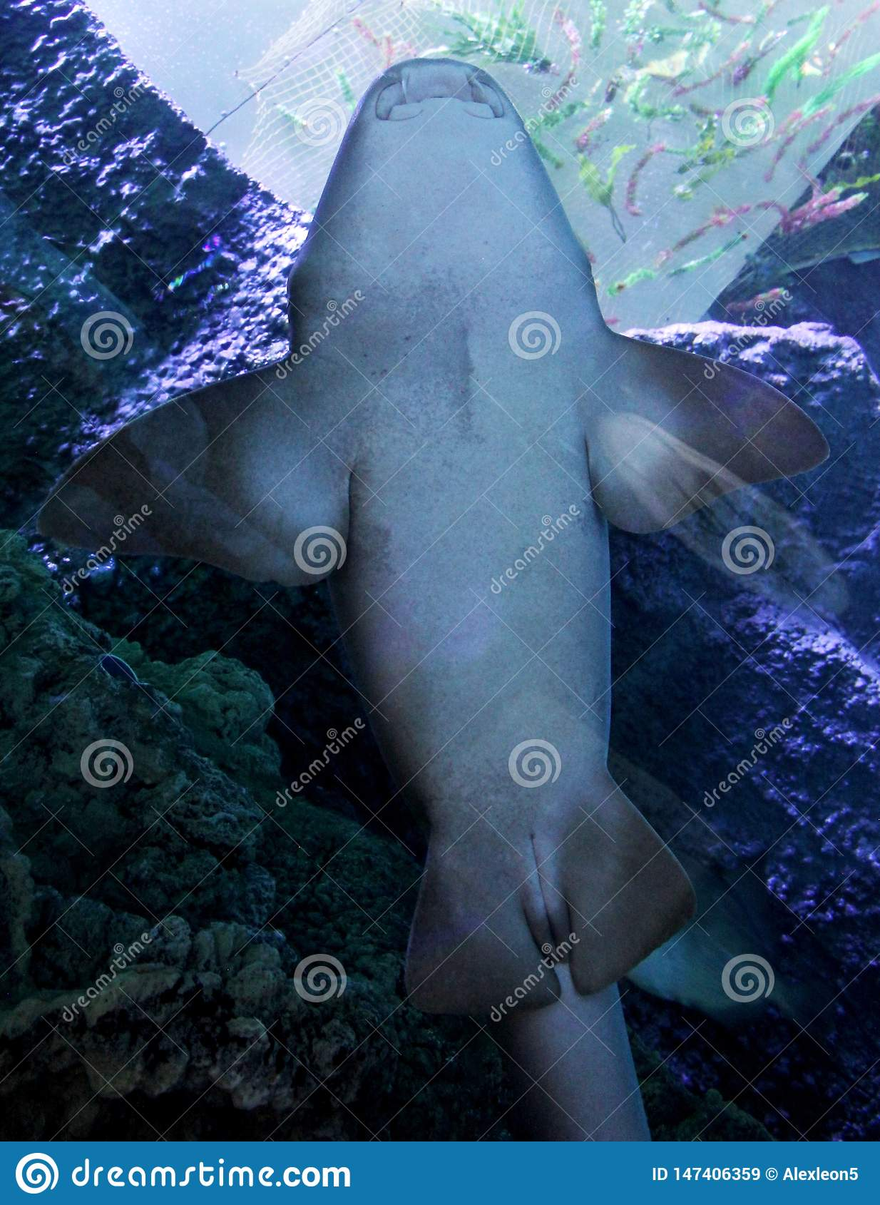 Soaring white shark in the blue abyss