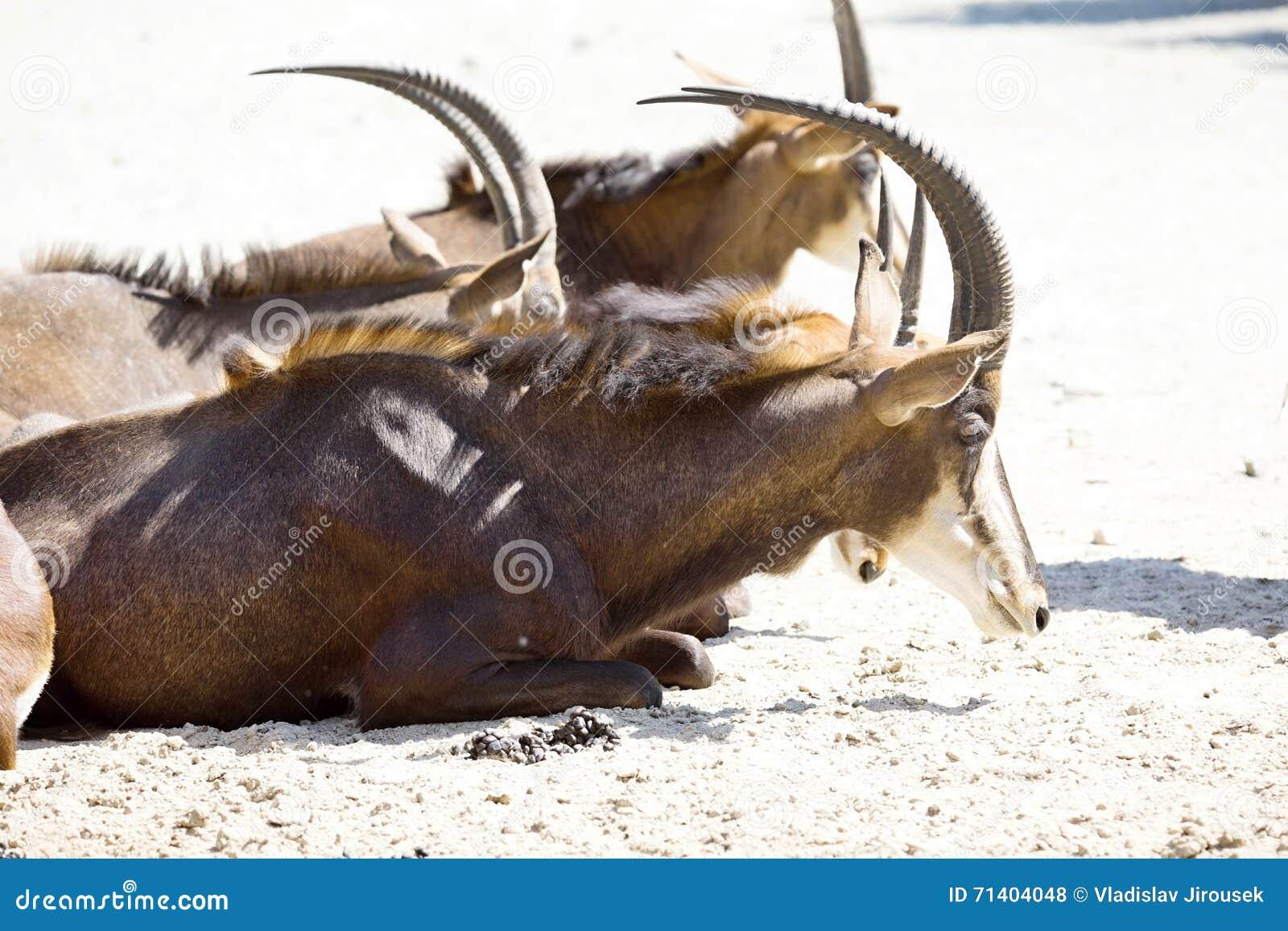 Sobolowa antylopa, Hippotragus Niger, jest ciemnym brązem
